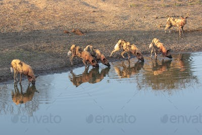 A pack of wild dogs, Lycaonpictus, covered in blood, drinking at water hole