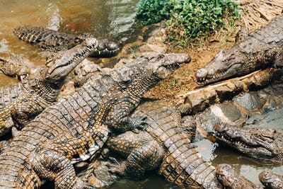 Crocodile Park on the island of Mauritius. La Vanilla Nature Park.Crocodiles