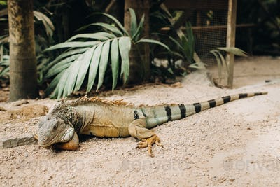 An iguana on a reservation on the island of Mauritius,a Large lizard iguana in a Park on the island