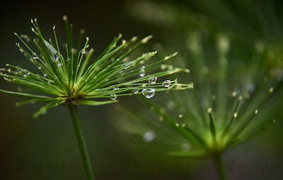 Water droplets on the flowers of the reeds on a rainy day