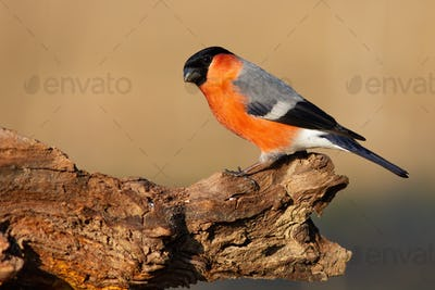 Male eurasian bullfinch sitting on branch in autumn nature