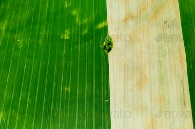 Top view of a Sown green and gray field in Belarus.Agriculture in Belarus.Texture