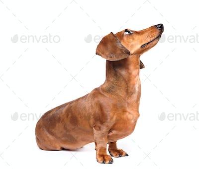 dachshund dog look up