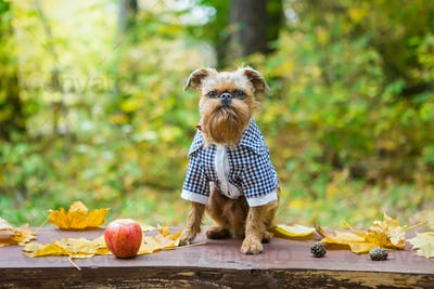 Brussels Griffon in autumn on a walk in the Park