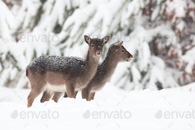 Two baby fallow deers standing on meadow in winter