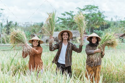 three Asian farmers holding and lifting rice plants that have been harvested