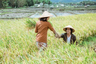 an Asian farmer couple wearing a hat while harvesting rice