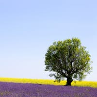 Lavender and yellow flowers blooming field, lonely tree. Provence, France