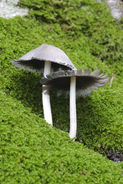 Mushrooms growing out of a tree trunk covered with green moss in Autumn season.