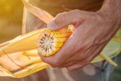 Agronomist holding corn on the cob in the field