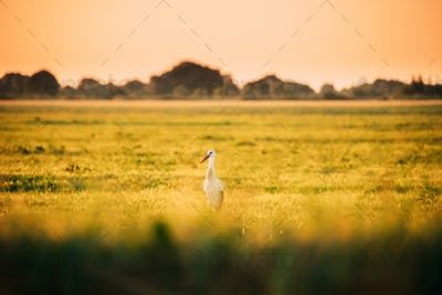 Adult European White Stork Ciconia Ciconia In Summer Meadow Lit By Sunset Sunlight. Wild Bird In