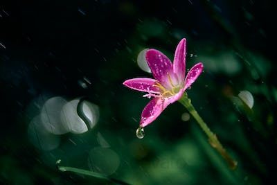 Raindrops on the tiny pink flower on a rainy day