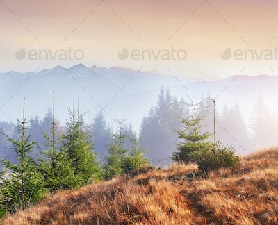 Morning fog creeps with scraps over autumn mountain forest covered in gold leaves. Snowy peaks of