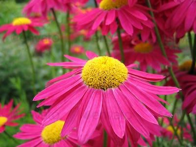 Beautiful pink pyrethrum flowers