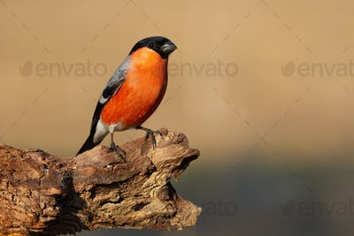 Eurasian bullfinch sitting on bough in autumn nature