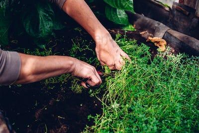 Woman Cutting Thyme in Backyard Garden