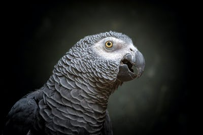 African timneh grey parrot or Congo grey parrot, Congo African grey parrot
