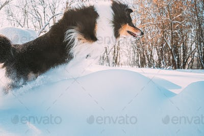 Funny Young Shetland Sheepdog, Sheltie, Collie Fast Running And Jumping Outdoor In Snowy Park