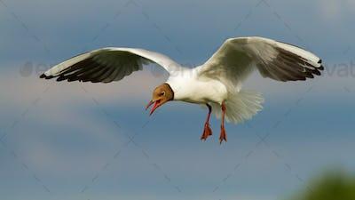 Black-headed gull flying in midair in summertime