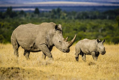 Rhinoceros and calf walking in savanna landscape