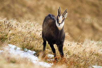 Tatra chamois standing on dry meadow in winter nature