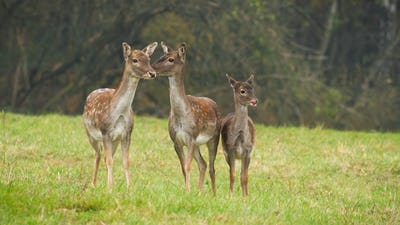 Three fallow deers standing on meadow in autumn nature