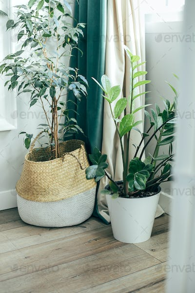 House plants ficus on a floor. Home plant indoor flowers, garden room. Plant home decoration concept
