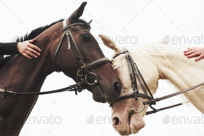 Two beautiful riding horses, brown and white, stand together with their heads to each other