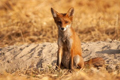 Alert red fox sitting on the ground and facing camera at sunrise