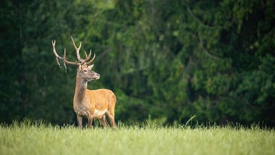 Proud red deer stag looking away in green summer nature