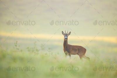 Alert roe deer buck standing on a meadow wet from dew early in the morning