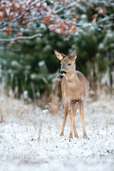 Young roe deer doe standing on field in winter nature