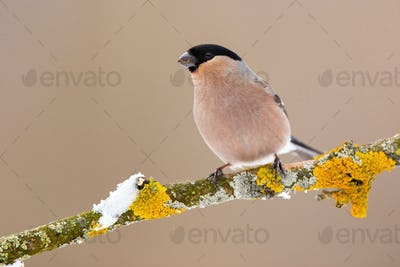 Eurasian bullfinch female sitting on moss branch in winter