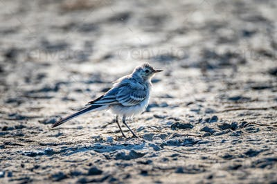 Close up of young white wagtail on the ground