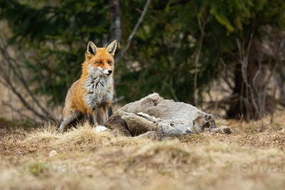 Shy red fox waiting near a kill of roe deer in winter nature