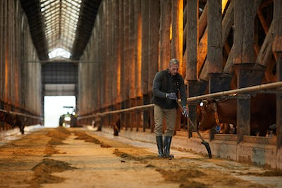 Man Cleaning Cowshed at Farm