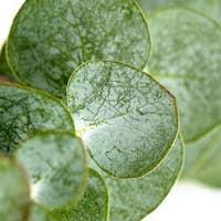 Close up of Eucalyptus round leaves on white background