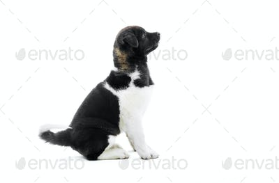 The cutest black and white american akita s puppy
