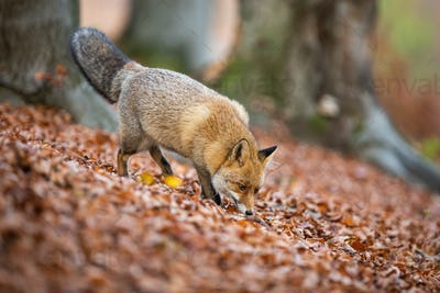 Red fox sniffing in leaves inside forest in autumn nature