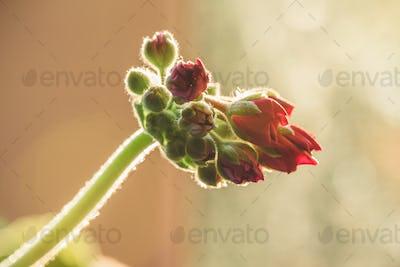 Red geranium flower in sunrise light