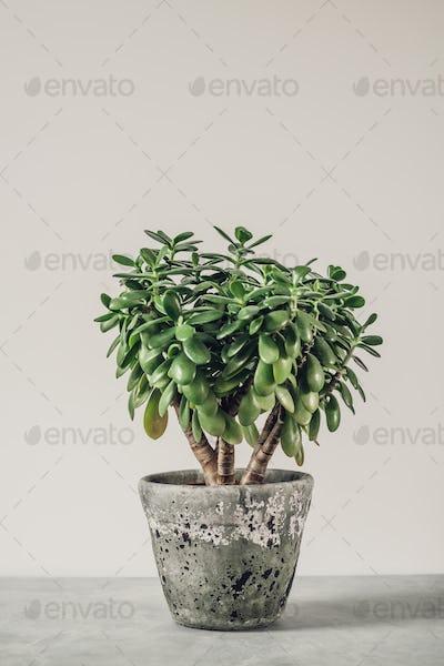 Houseplant Crassula ovata jade plant money tree opposite the wall