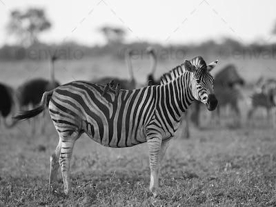 Common Zebra foraging in black and white