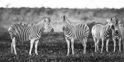 Four Common Zebra grooming in black and white