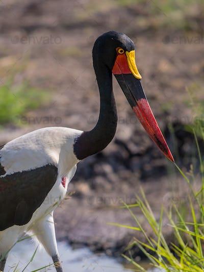 Saddle billed stork portrait