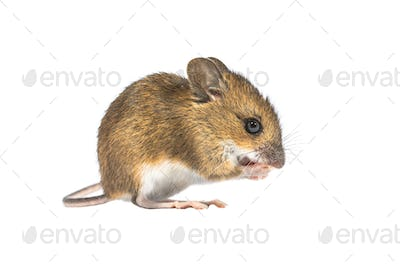 Eating mouse isolated on white background