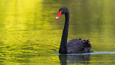 Black swan swimming forward on a lake in sunny summer nature