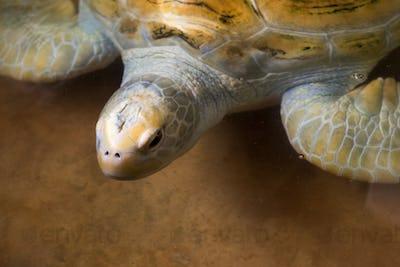 close-up shot of beautiful sea turtle swimming in water