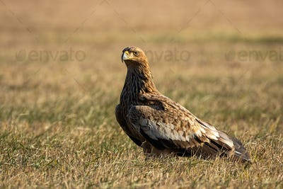 Eastern imperial eagle sitting on the ground in autumn nature