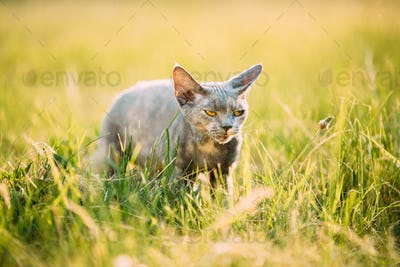 Funny Sly Young Gray Devon Rex Kitten Sitting In Green Grass. Short-haired Cat Of English Breed