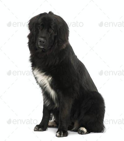 Bastard dog, 9 months old, sitting against white background